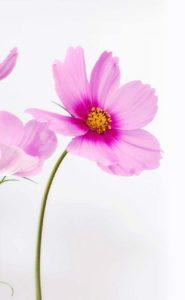 Bild Blume Cosmea